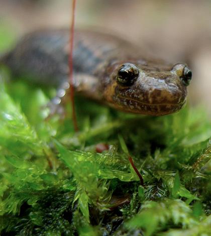 Dusky salamander (Credit: Dave Huth, via Flcikr)