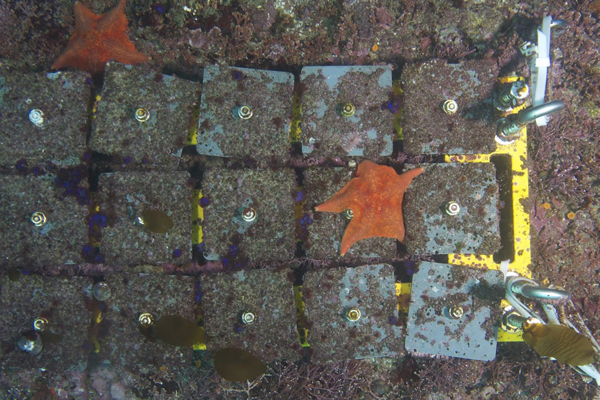 "The researchers ""farmed"" seaweeds and invertebrates on undersea tiles. (Credit: Scripps Institution of Oceanography)"