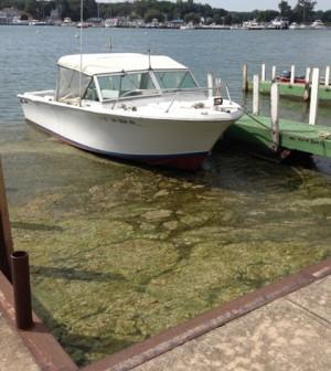 Algae among the docks near Ohio State University's Stone Lab on Lake Erie (Credit: Daniel Kelly)