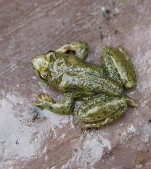 Adult male Rocky Mountain tailed frog (Credit: Stephen Corn/USGS)