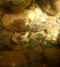 Rusty crayfish (Credit: Lindsey Sargent)
