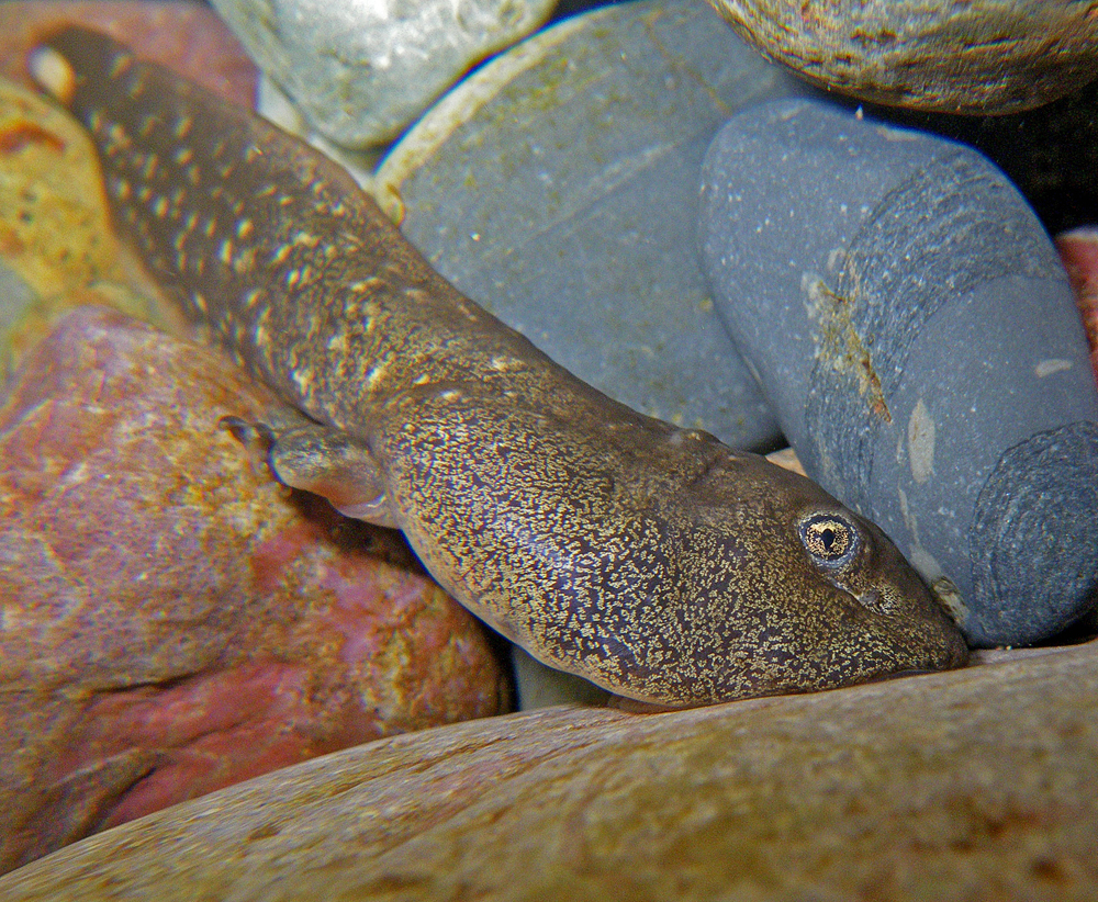 A 3-year-old Rocky Mountain tailed frog tadpole latched onto a rock (Credit: Joe Giersch/USGS)