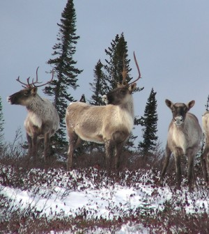 A herd of Caribou near James Bay, Canada (Credit: peupleloup, via Flickr)