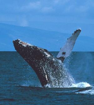 Humpback whale (Credit: NOAA, via Wikimedia Commons)