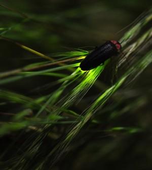 A firefly bioluminescing (Credit: yellow_bird_woodstock, via Flickr)