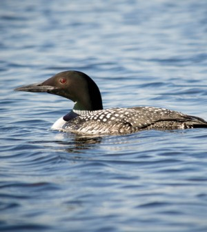Loon in Wisconsin (Credit: Kelly Sikkema, via Flickr)