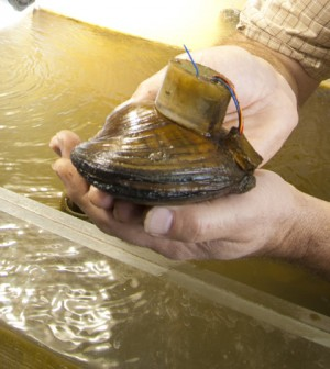 A backpack-wearing mussel in the UI lab (Credit: University of Iowa)