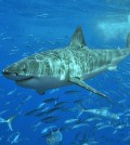 Great white shark (Credit: Terry Gross, via Wikimedia Commons)