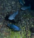 Devils Hole pupfish (Credit: Olin Feuerbacher)