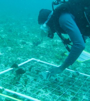 A diver conducts a sampling transect (Credit: NOAA)