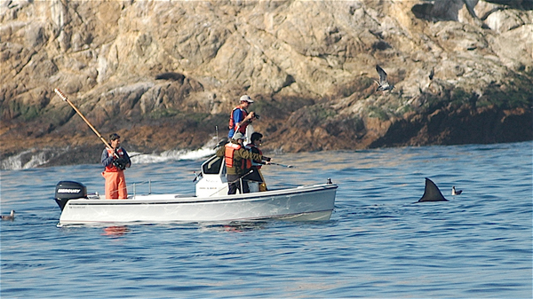 A crew tagging white sharks (Credit: Global Tagging of Pelagic Predators)