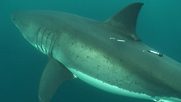 A white shark carrying two tracking tags (Credit:  Global Tagging of Pelagic Predators)