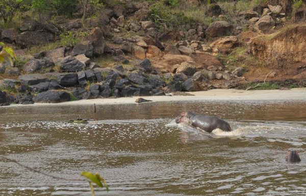 A hippo gives chase (Credit: Paul Scerri)