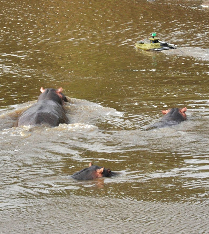 A hippo gives chase to a Platypus boat on the Mara River (Credit: Paul Scerri)
