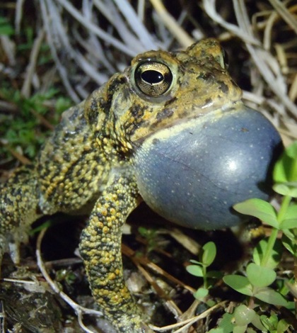 Male Houston toad (Credit: Donald Brown)