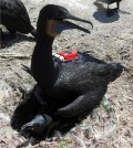 Nesting Brant's cormorant fitted with sensor tags to measure water conductivity, temperature, pressure (depth), and GPS location. Waterbird research was conducted under an Animal Care and Use Protocol approved by the Oregon State University Institutional Animal Care and Use Committee. (Photo credit: Anna Laws)