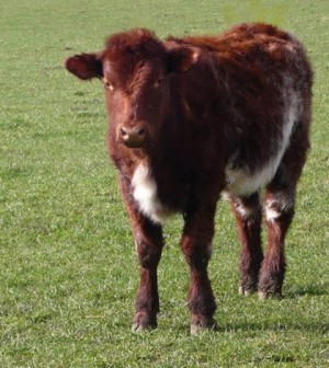 Beef shorthorn calf (Credit: Cgoodwin, via Wikimedia Commons)