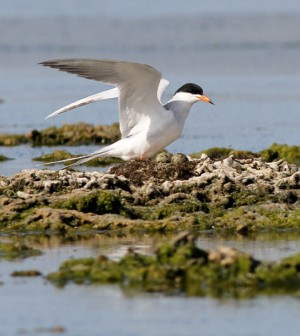 A nesting Foster's tern, the seabird species chosen for the Coastal Conservation Action Lab's acoustic monitoring study (Credit: Abe Borker)