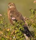 Marsh harrier (Credit: Subramanya CK, via Wikipedia Commons)