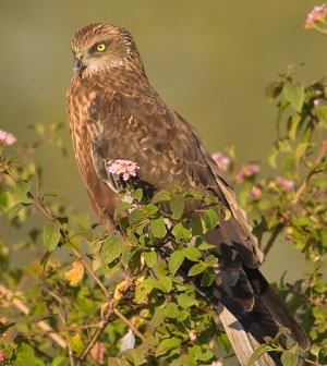 Marsh harrier (Credit: Subramanya CK, via Wikipedia Commons)