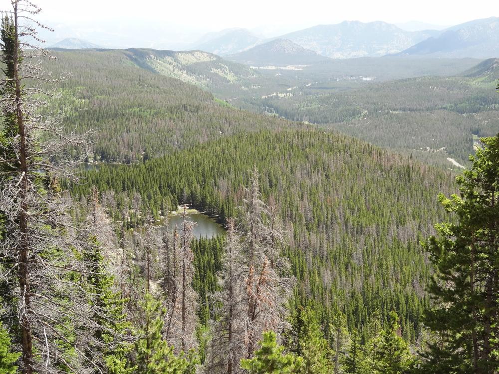 Mountain pine beetle destruction seen near Bear Lake in Rocky Mountain National Park (Credit: Lindsay Bearup)