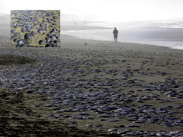 Moon jellyfish (Aurelia) beach stranding at San Francisco in November 2010 (Credit: Ocean Beach Bulletin)
