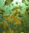 Golden jellyfish (Mastigias) jellyfish in Jellyfish Lake, Palau (Credit: Chris Lubba)