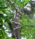 Lianas vines climbing a tree (Credit: S.A. Schnitzer)