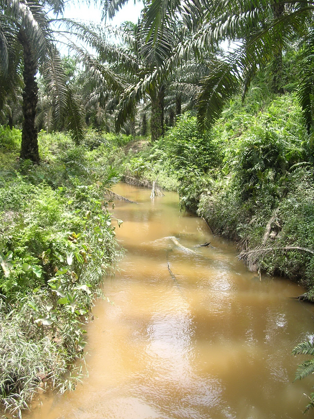 A stream running through a ten-year old oil palm plantation in West Kalimantan, Indonesian Borneo (Credit: Neli Lisnawat)