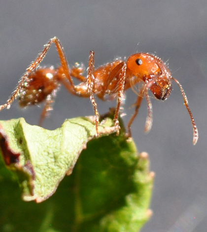 Fire ant (Credit: Rick Hagerty, via Flickr)