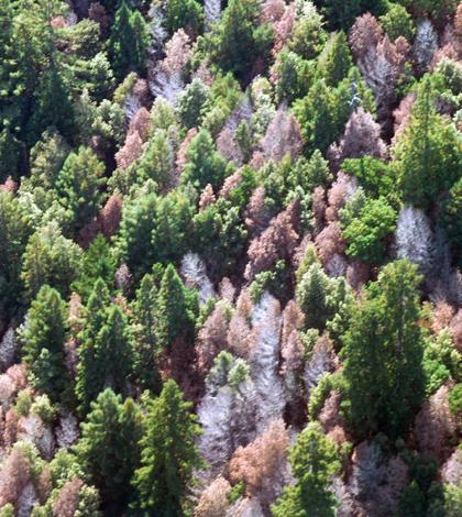 Dead tanoak in Marin County, Calif. (Credit: USFS Region 5, via Flickr)
