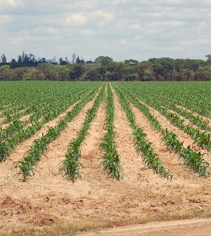 Maize growing in Zambia (Credit: Lyndon Estes)