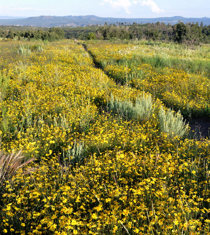 Wild flowers at Bandelier National Monument in New Mexico benefit from addition rain (Credit: Larry Lamsa, via Flickr)