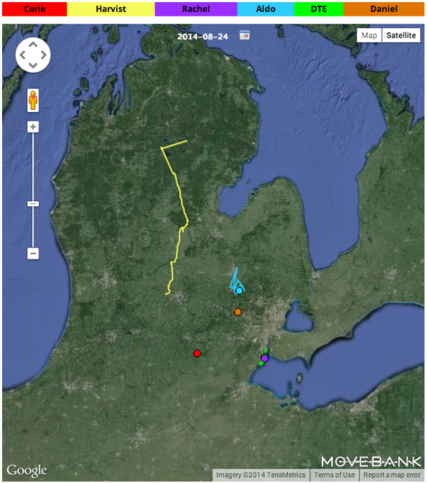The tagged ospreys' paths as of Aug. 24 (Credit: michiganosprey.org)