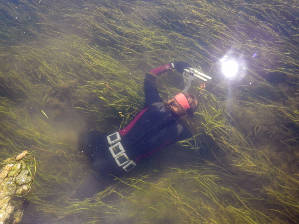Cassie Gurbisz diving the Susquehanna Flats for a seagrass sample (Credit: Debbie Hinkle)