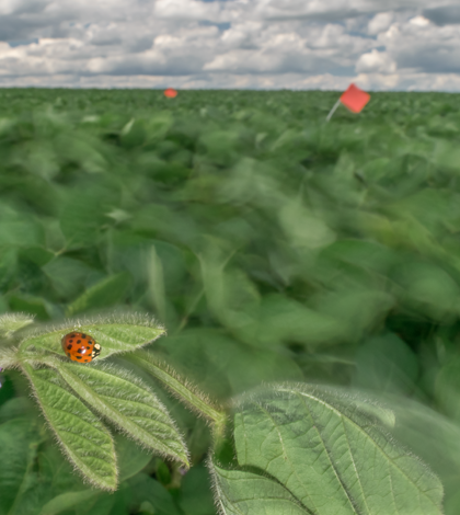 A one-third-second exposure of wind-blown soybeans and a multicolored Asian ladybeetle (Credit: Brandon Barton)