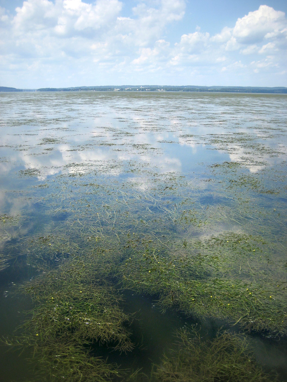 The Susquehanna Flats seagrass beds (Credit: Cassie Gurbisz)
