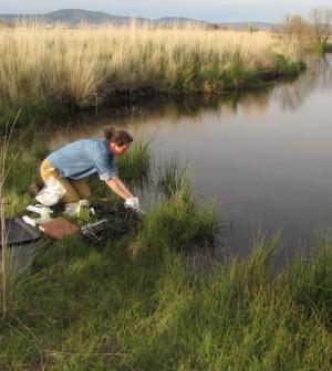 Tara Chestnut samples for amphibian chytrid fungus in a wetland in the Klamath Basin National Wildlife Refuge. (Credit: Charles M. Crisafulli.)