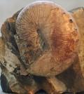 "Ammonite of the genus ""Hoploscaphites."" (Credit: BetacommandBot via Wikimedia Commons / CC BY 3.0"