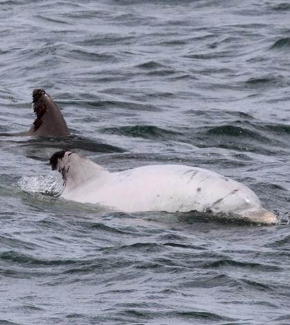 Leucistic bottlenose dolphin. (Credit: Jessica Aschettino/HDR Inc. under NMFS Permit 16239)