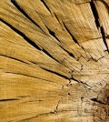 Samples from logs can be used to trace drought levels back through time. (Credit: Daniel Griffin)