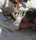 The U.S. Fish and Wildlife captured this young female ocelot and gave it a radio tracking collar before releasing it in the Laguna Atascosa National Wildlife Refuge. (Credit: U.S. FWS)
