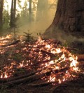 The Rim Fire burned 78,895 acres of park land. (Courtesy Yosemite National Park)