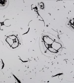 Zooplankton from Delaware Bay (Credit: University of Delaware)