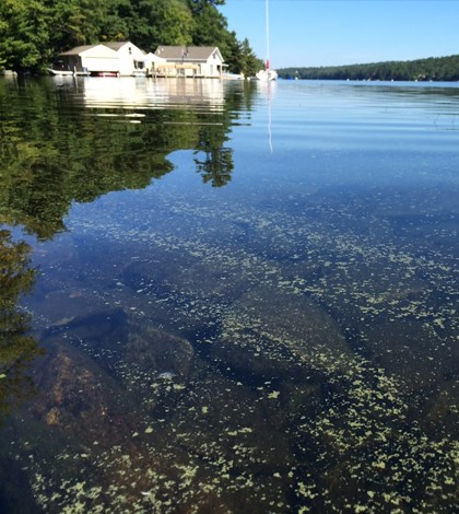 Gloeotrichia bloom in Lake Sunapee, NH. (Credit: Samuel B. Fey)