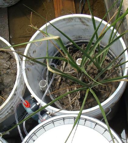 """Microcosm"" bucket containing Spartina alterniflora plant. (Credit: Rachel MacTavish)"
