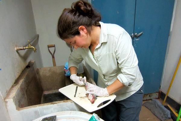 Sarah Diringer, a PhD student at Duke University, examines fish samples from the Madre de Dios River for potential human mercury exposure. (Credit: Sarah Diringer)