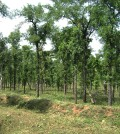 Hardwickia forests in Maharashtra, India. (Credit: S.K. Gawali)