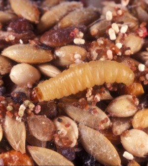 Microbes, which can be found in waxworms, can digest plastic. (Credit: Lyle Buss)