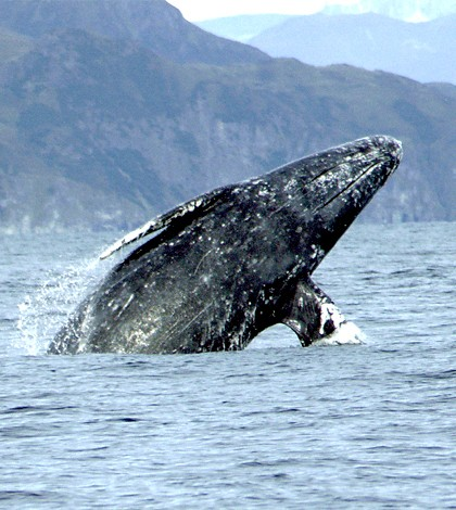 Gray whale breaching. (Credit: NOAA)